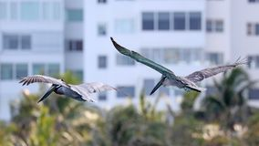 Couple of pelicans flying over the sea in Miami, fishing in the shore at surf-shore while hunting for food. stock photography