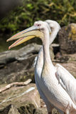 Couple of pelicans, Pelecanidae, at an animal park outdoors Royalty Free Stock Images