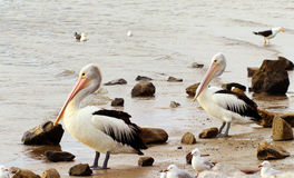 Couple of pelicans on a shore Royalty Free Stock Images