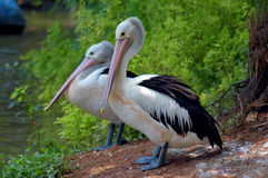 Couple of pelicans waiting for fish Stock Image