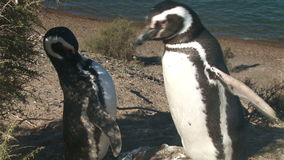 Couple of penguins. Couple of black footed penguins stock footage