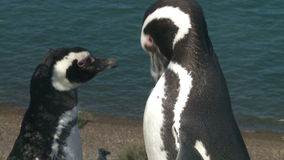 Couple of penguins. Portrait of two black footed penguins stock video