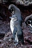 Couple of penguins on a rock in the Galapagos Royalty Free Stock Photo