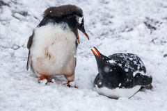 Couple Penguins talking on background the snowy plains of Antarctica. royalty free stock photo