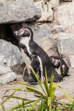Couple of penguins waiting at their nest royalty free stock image