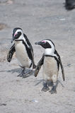 Couple of penguins walking together on beach Royalty Free Stock Photo