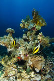 Couple of pennant fish swim over the coral garden royalty free stock images