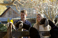 Couple at Petting Zoo Stock Image