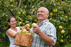 Couple picking apples Stock Images