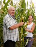 Couple picking corn ears. Stock Photo