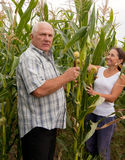 Couple picking corn ears Stock Image