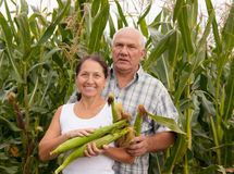 Couple  picking corn. Royalty Free Stock Photography
