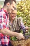 Couple picking grape vines Stock Photo