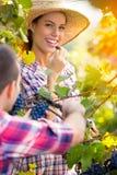 Couple picking grape vines Royalty Free Stock Photos