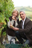 Couple picking grapes together Royalty Free Stock Photos
