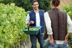 Couple picking grapes. In a vineyard stock images