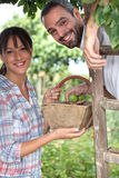 Couple picking plums Stock Photography