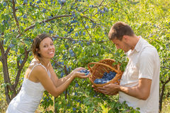 Couple picking plums in field on a sunny day Stock Photos
