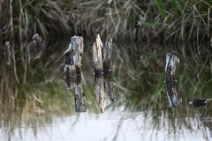 Couple pieces of wood sticks out of the water and gives a nice mirror in the water stock image