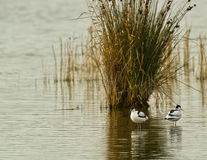 A couple of Pied Avocet with a reed plant Royalty Free Stock Photos