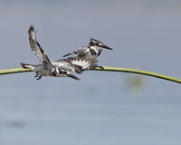 A couple of Pied Kingfishers take off Stock Photo