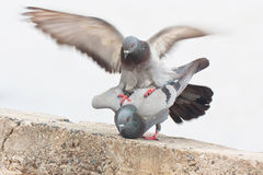 Pigeon in love Royalty Free Stock Images