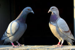 Couple pigeons Royalty Free Stock Photo