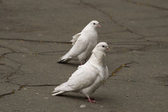 Couple of pigeons. Couple of white pigeons on the asphalt Royalty Free Stock Photo