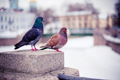 A couple of pigeons Royalty Free Stock Image