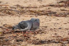 A Couple of Pigeons Courting on the Beach stock images