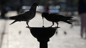 Couple of pigeons drinking water from a street fountain. Full HD stock video