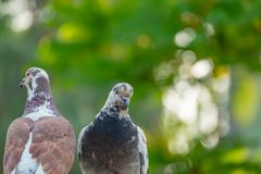 A couple of pigeons inverse facing each other. Look like conflict of lovers but they will be together forever with true love, copy space, animal, background royalty free stock image