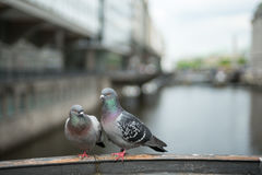 Couple pigeons in love Royalty Free Stock Photos