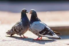 Couple of pigeons Stock Photos