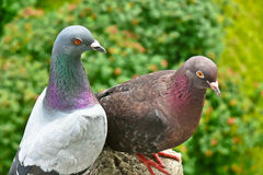 A couple of pigeons Stock Image