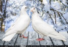 Free Couple Pigeons On The Table Stock Photography - 114279592