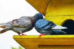 Kissing pigeons perch on the yellow cage. royalty free stock photos