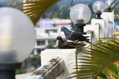 Couple of pigeons rest on the rooftop in the city. Royalty Free Stock Photography