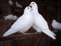 Couple of pigeons sitting at branch Royalty Free Stock Photo
