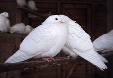 Couple of pigeons Stock Photography
