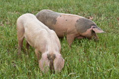 A couple of pigs Stock Photography