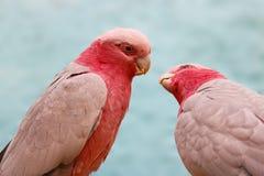 A couple of pink galah cockatoos eolophus roseicapilla starting to kiss Royalty Free Stock Image