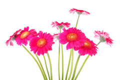 Couple of pink Gerber flowers Stock Image