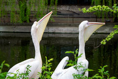 Couple of pink pelicans Stock Photos