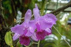 Pink and violet cattleya orchids stock photos