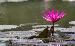 Pink Water lily on a lake - Tranquil scene stock photo
