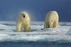 Couple of polar bear on drift ice with snow on Arctic Svalbard. Couple of polar bear on drift ice with snow on Arctic Stock Photography