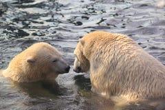 Couple of polar bears Stock Image