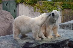 Couple of polar bears in love. In zoo Stock Images