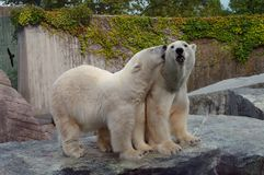 Couple of polar bears in love. In zoo Stock Image